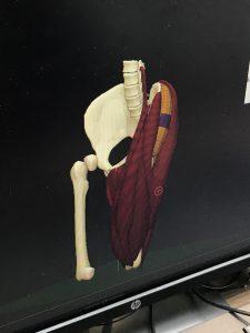 Morphologie en 3D : la jambe